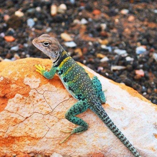 animal vetcare lizard